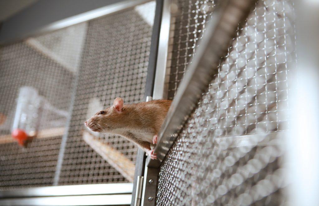 Vaalea rotta kiipeilee Rottalassa.